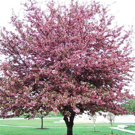 trees in bloom profusion crabapple tree in bloom trees pinterest