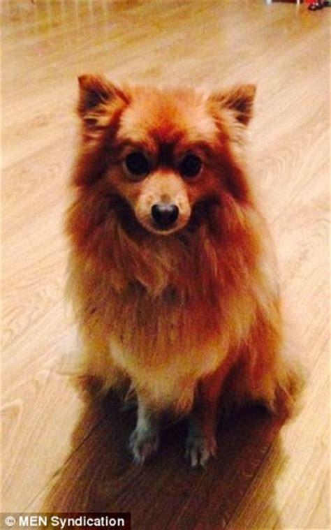 pomeranian lola  scalped  trim  dog grooming