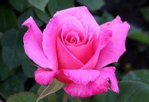 temporarily   stockrose pink peacehybrid tea
