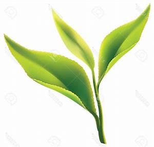 Top 10 Green Tea Leaf Clipart Design