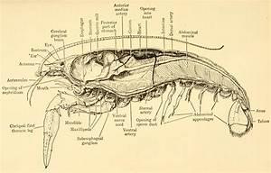 Crayfish Diagram