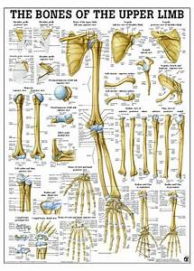 Bones Of The Upper Limb Poster