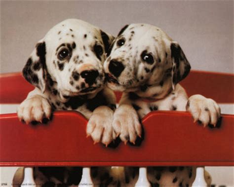 freckles  dalmatian   dalmations pictures  images