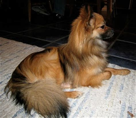 cute dogs papillon pomeranian mixed dog