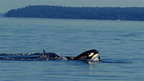 Boat R Fees Victoria by Private Whale Watching Boat Charters In Victoria Bc