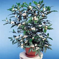 "African Gardenia Plants (mitriostigma Axillare) 25"" Pot"