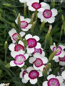 Dianthus deltoides 'ARCTIC FIRE' - Havlis.cz