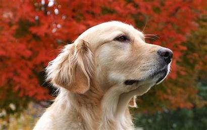 Dog Dogs Wallpapers Animals Beauty Desktop Canine