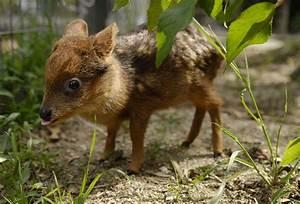 newborn chinese water deer - Google Search | Animals worth ...