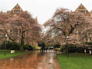 UW Cherry Blossoms Blooming Now, Despite Cold Weather ...