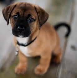 puggle designer breed pug beagle mix information and images