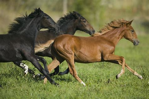 herbivore animals horses running horse