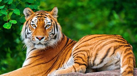 Indian Animals Wallpaper - indian tiger relaxing in forest hd wallpapers rocks