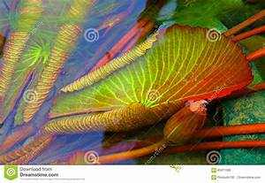 Submerged Water Lily Leaves Stock Photo