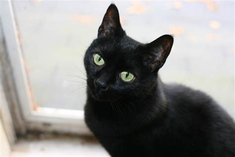 black cats black cats good luck or bad luck