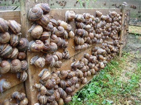 comment cuisiner les escargots comment devenir elevage d 39 escargots