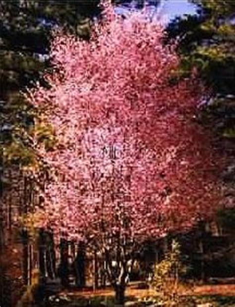 non fruit bearing cherry tree 1000 images about flowering trees on pinterest flowering trees fruit trees and shrubs