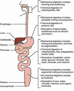 Chemical Digestion And Absorption  A Closer Look