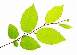 Laubbaum Mit Roten Blättern : buche erkennen anhand dieser merkmale k nnen sie sie bestimmen ~ Frokenaadalensverden.com Haus und Dekorationen