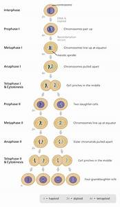 The Process Of Meiosis Ensures That Organisms Will Have What