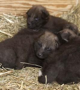 Des louveteaux à crinière nés au Smithsonian Conservation ...