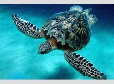 Green Sea Turtle The Biggest Animals Kingdom