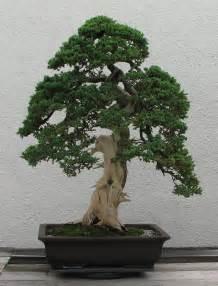 file japanese juniper 1975 2007 jpg wikimedia commons