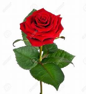SINGLE RED ROSE HD IMAGE - Wroc?awski Informator ...