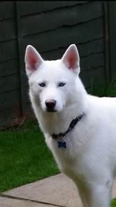 Pure White Siberian Husky with blue eyes   Basingstoke ...