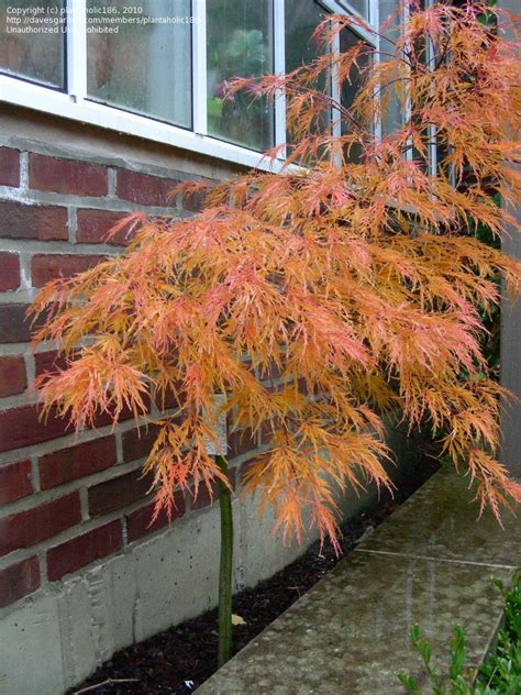 plantfiles pictures cutleaf japanese maple threadleaf