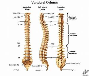 Dentistry And Medicine  Spine And Vertebre Diagrams Free