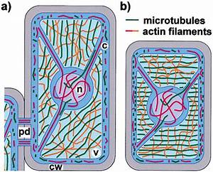 The Plant Cytoskeleton: Cell