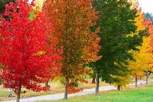 Amberbaum Oktoberglut Preis : amberbaum die wichtigsten sorten im berblick ~ Michelbontemps.com Haus und Dekorationen