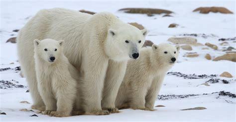 polar bear trips churchill polar bears natural habitat adventures