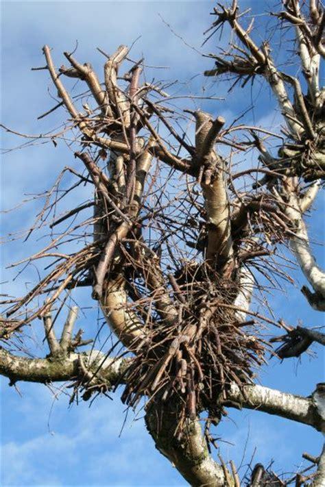 baum komplett zurückschneiden formschnitt laub bonsaipflege ch