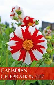 Canadian Celebration 2017  An Unforgettable Flower Show Dahlia
