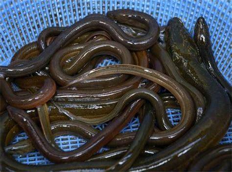 comment cuisiner l anguille l 39 anguille est un poisson de forme allongée