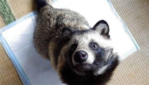 japanese raccoon dog    world  storm