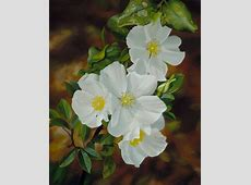 Cherokee rose flower photos