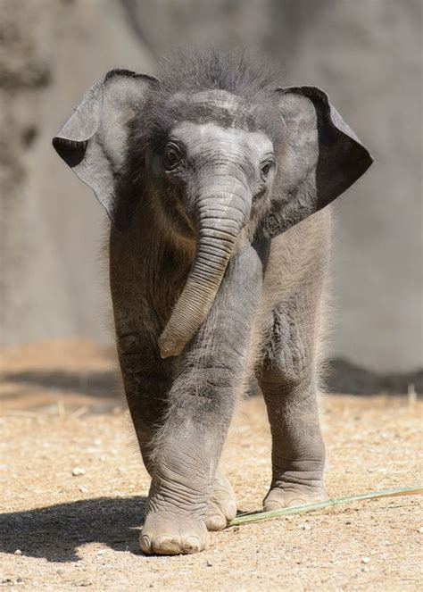 update asian elephant calf debuts  saint louis zoo