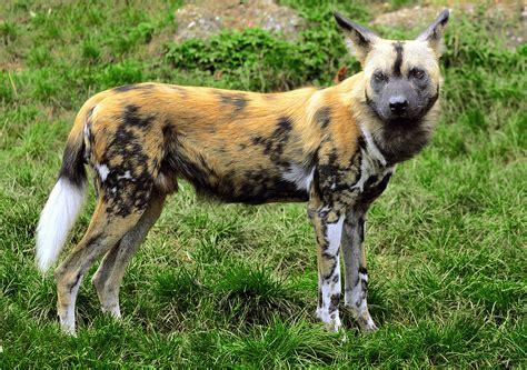 Lycaon (animal) Wikipédia