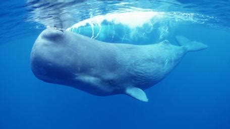 sperm whale open waters marine mammals physeter