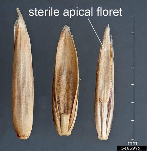 cuisine perenne perennial ryegrass lolium perenne cyperales poaceae