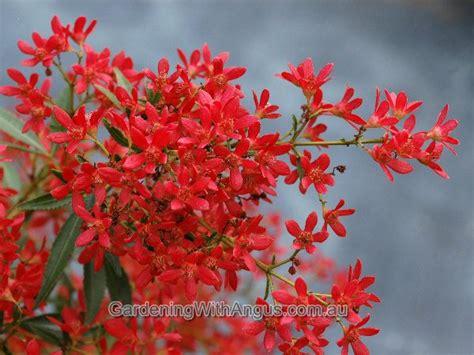 nsw christmas bush ceratopetalum gummiferum johanna s