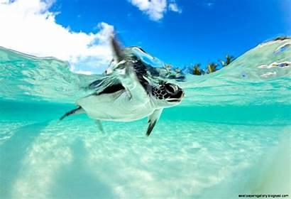 Sea Turtle Turtles Underwater Swimming Endangered Wallpapers