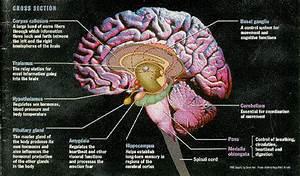 Brain Diagram Amygdala