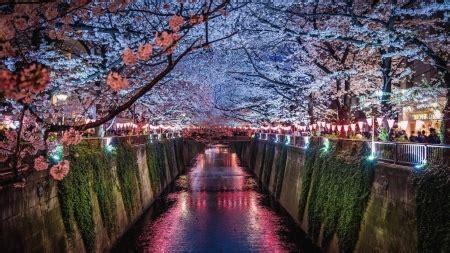 sakura fest  nature background wallpapers
