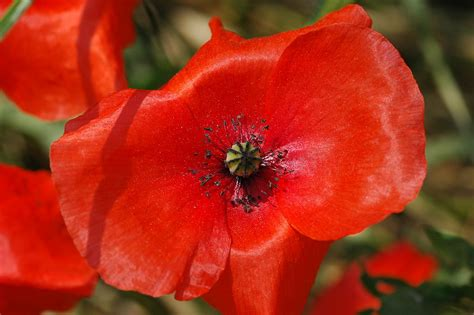 poppies meaning red poppy meaning image search results