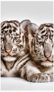 Tow cute white tiger cubs HD Wallpaper | Background Image ...