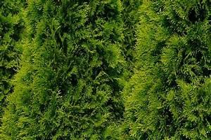 Thuja Smaragd Wachstum : wenn sie heckenpflanzen kaufen die optionen ~ Michelbontemps.com Haus und Dekorationen